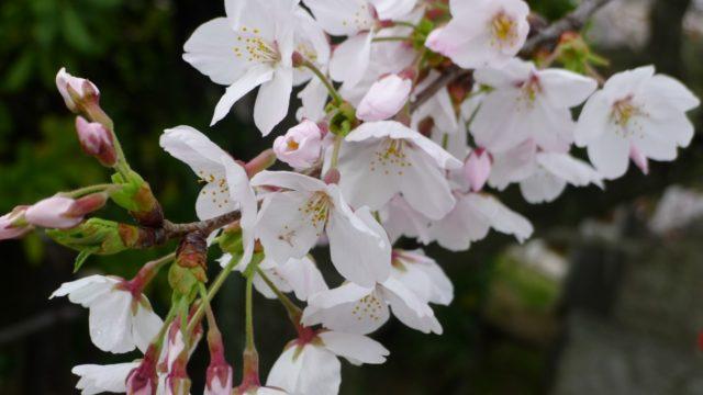 2015年 岸和田城の桜 11
