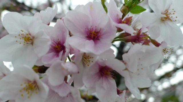 2015年 岸和田城の桜 12