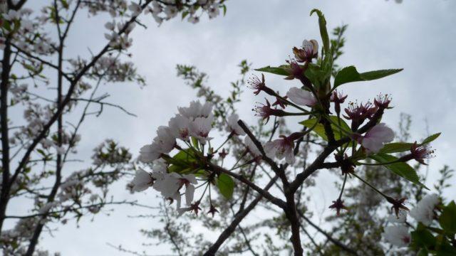 2015年 岸和田城の桜 15