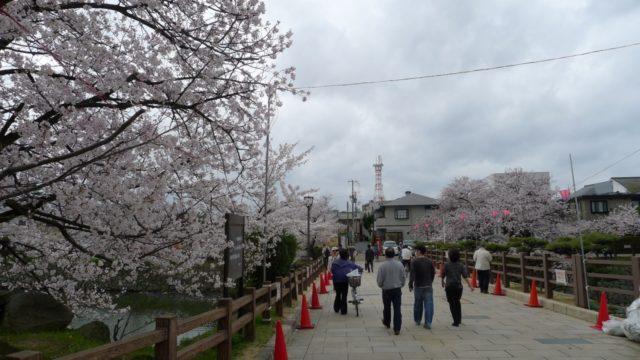 2015年 岸和田城の桜 16