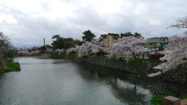 2015年 岸和田城の桜 17