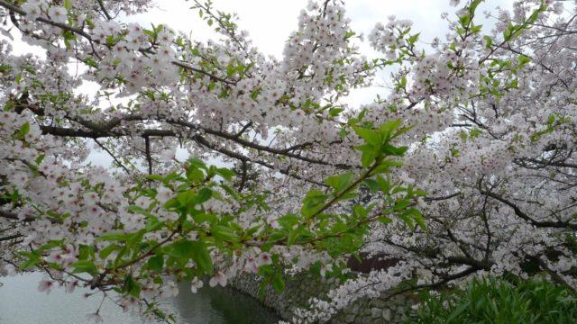 2015年 岸和田城の桜 18