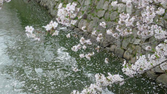 2015年 岸和田城の桜 19
