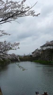 2015年 岸和田城の桜 23