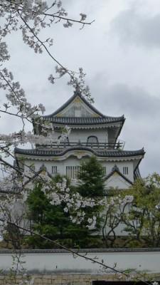 2015年 岸和田城の桜 24