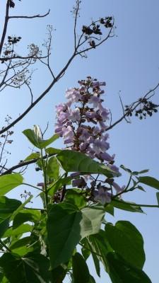 ホリディスポーツクラブの泉大津店の桐の花