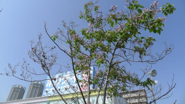 ホリディスポーツクラブの泉大津店の桐の木と花