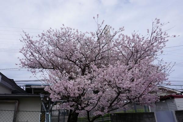南海本線 春木駅の下り(和歌山方面)の桜の木