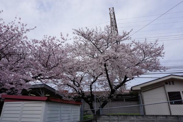 南海本線 春木駅の下り(和歌山方面)の桜の木2