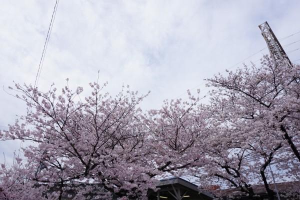 南海本線 春木駅の下り(和歌山方面)の桜の木3