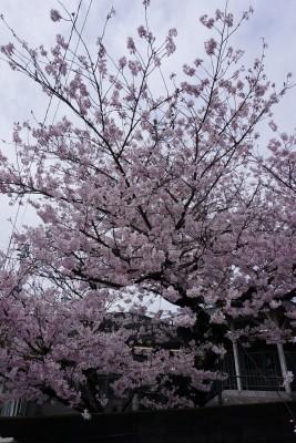 南海本線 春木駅の下り(和歌山方面)の桜の木5