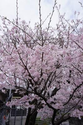 南海本線 春木駅の下り(和歌山方面)の桜の木6