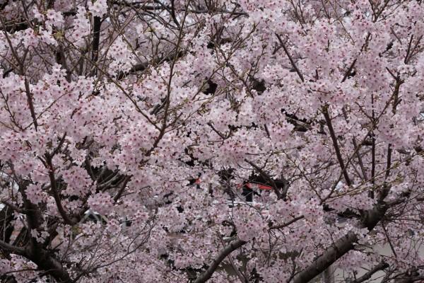南海本線 春木駅の下り(和歌山方面)の桜の花