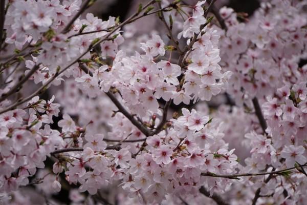 南海本線 春木駅の下り(和歌山方面)の桜の花2