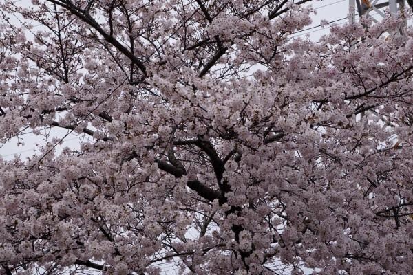 南海本線 春木駅の下り(和歌山方面)の桜の花3