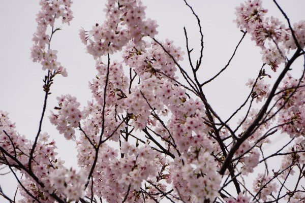 南海本線 春木駅の下り(和歌山方面)の桜の花4