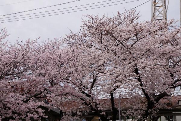 南海本線 春木駅の下り(和歌山方面)の桜の花5