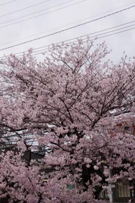 南海本線 春木駅の下り(和歌山方面)の桜の花6