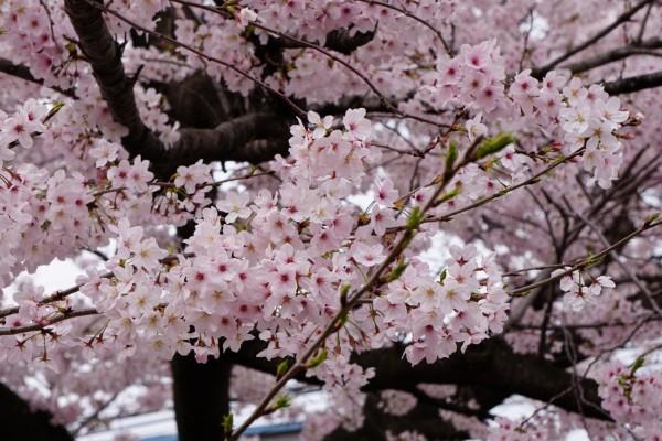 南海本線 春木駅の下り(和歌山方面)の桜の花 8