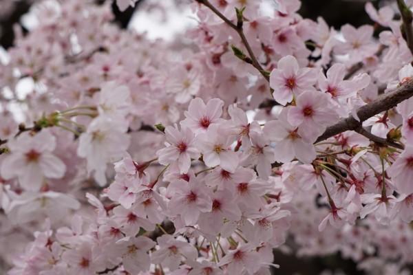 南海本線 春木駅の下り(和歌山方面)の桜の花 9