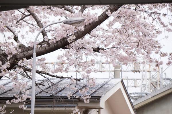 南海本線 春木駅の下り(和歌山方面)の桜の花 10
