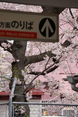 南海本線 春木駅の下り(和歌山方面)の桜2