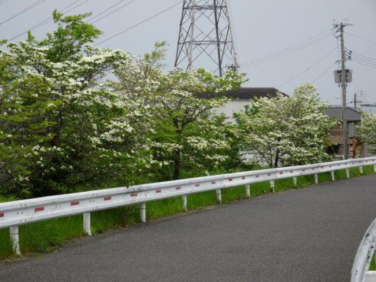 大津川のハナミズキ 2