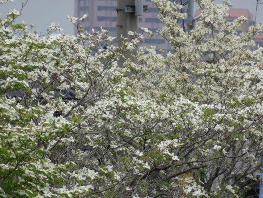 大津川の白い花水木