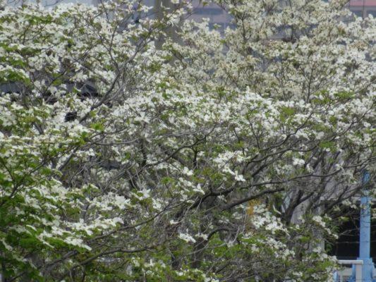大津川の白い花水木 2
