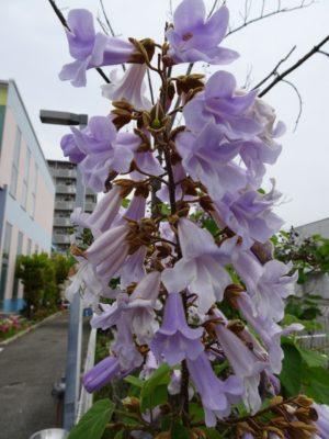 ホリディスポーツクラブの桐の花