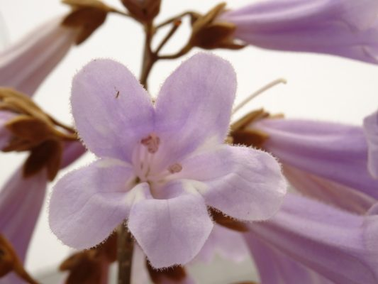 ホリディスポーツクラブの泉大津店の桐の花です