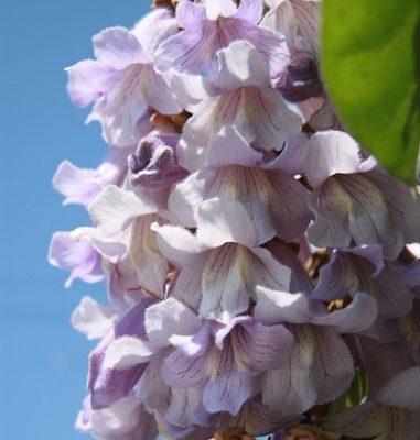 桐の花の拡大写真