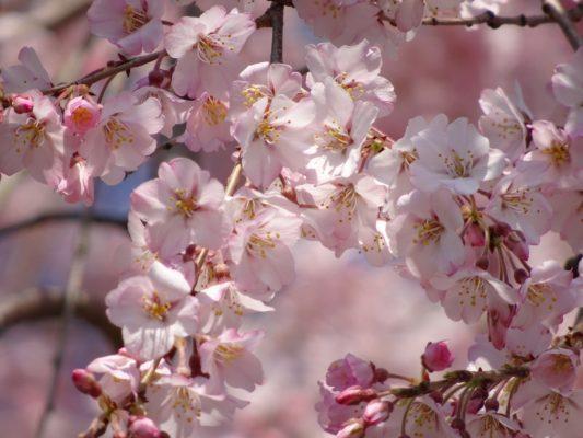 醍醐寺のしだれ桜の花びら