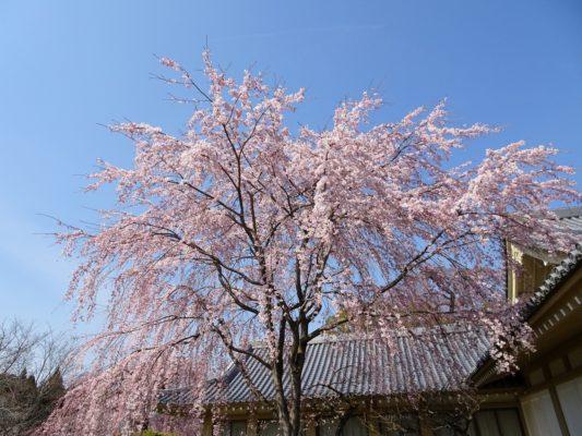 京都 醍醐寺の霊宝館のしだれ桜 2