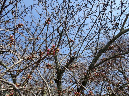 京都 醍醐寺の霊宝館のしだれ桜 3