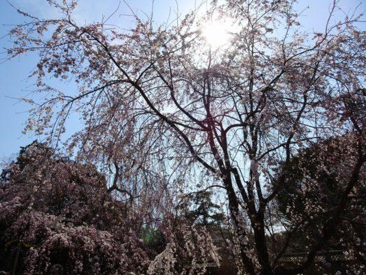 京都 醍醐寺の霊宝館のしだれ桜 4