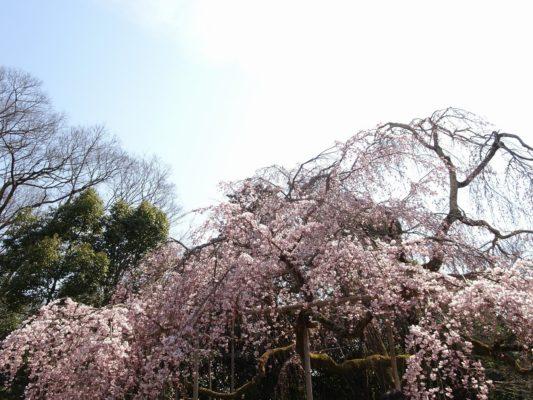 京都 醍醐寺の霊宝館のしだれ桜 5