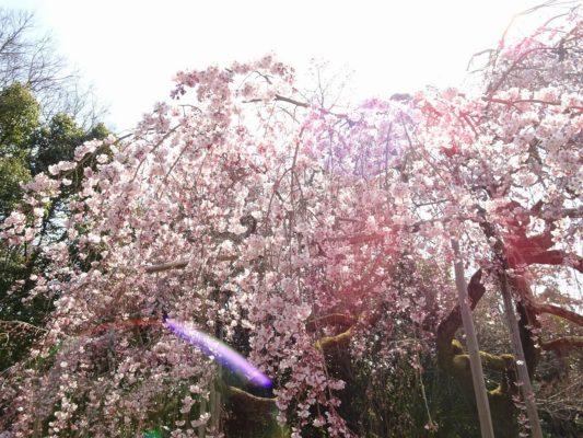 京都 醍醐寺の霊宝館のしだれ桜 7
