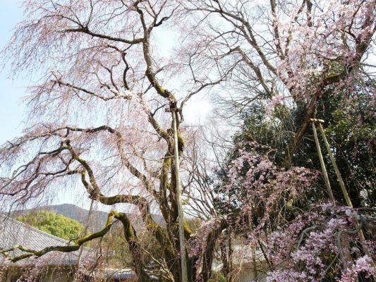 京都 醍醐寺の霊宝館のしだれ桜 8
