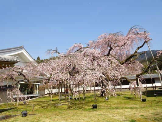 京都 醍醐寺の霊宝館のしだれ桜
