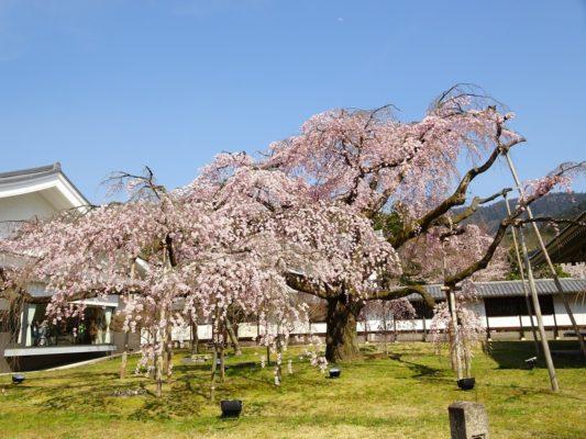 京都 醍醐寺の霊宝館のしだれ桜 9