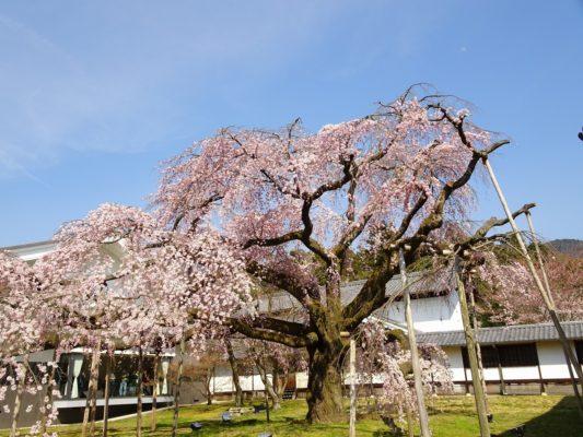 京都 醍醐寺の霊宝館のしだれ桜 10