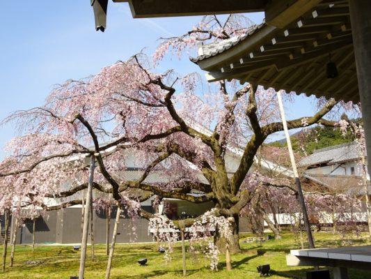 京都 醍醐寺の霊宝館のしだれ桜 11