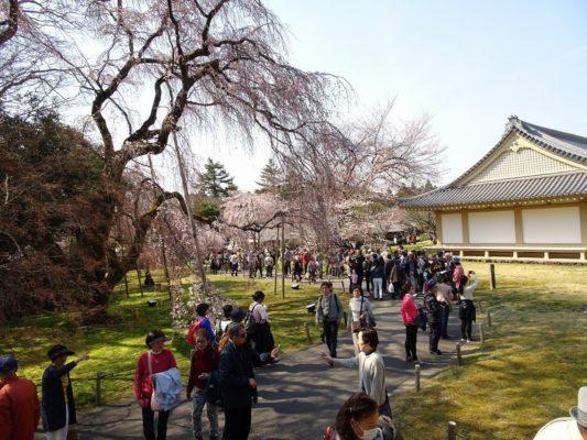 京都 醍醐寺の霊宝館のしだれ桜と観光客