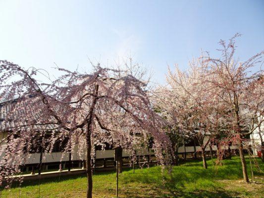 京都 伏見 醍醐寺の霊宝館のしだれ桜