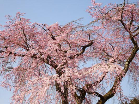 京都 伏見 醍醐寺の霊宝館の美しいしだれ桜の花びら