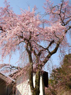 京都 伏見 醍醐寺の霊宝館のしだれ桜の花びら