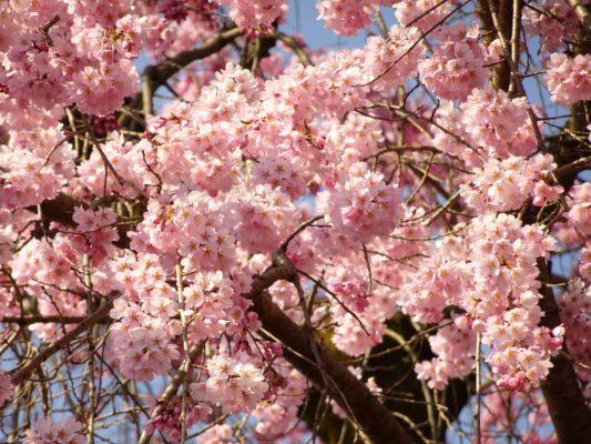 醍醐寺の霊宝館のしだれ桜の花びら