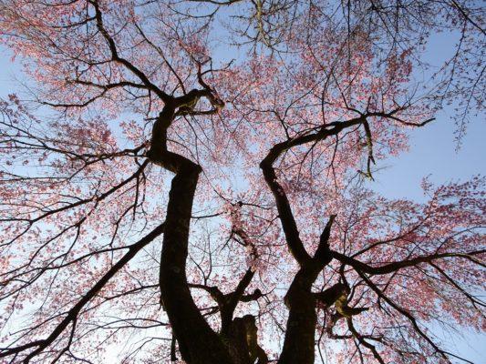 醍醐寺の霊宝館のしだれ桜の下