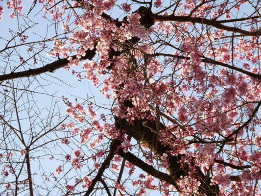 醍醐寺の霊宝館のしだれ桜の下 2